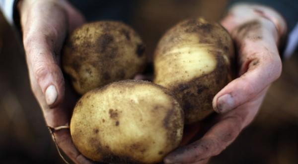 Дават по 52 лв. за декар картофи