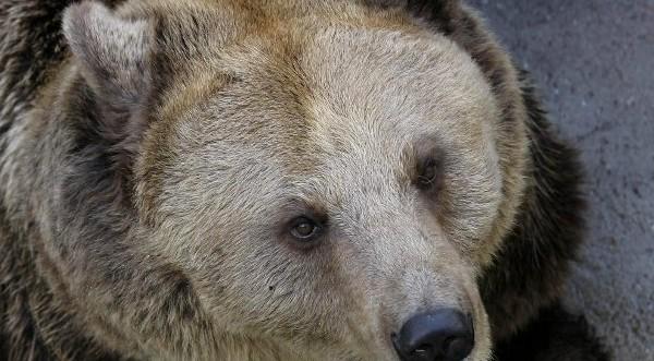 отстреляна сбежавшая медведица