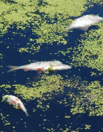 таинственная гибель рыбы в реке банска болгария