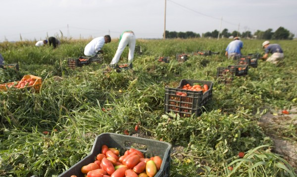 Роми от Сливен берат домати при нечовешки условия в Италия