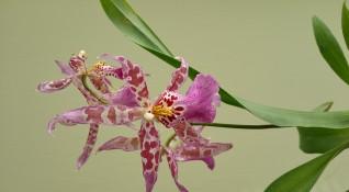"""""""Без будилник"""": Красиво, по-красиво, орхидея!"""