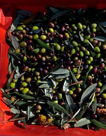 Черни и зелени маслини - каква е разликата