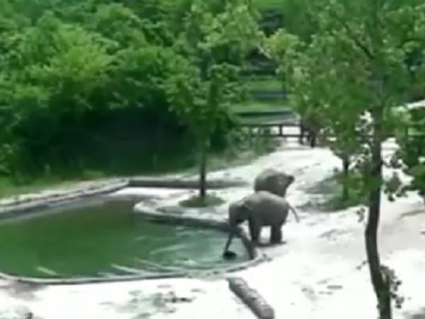 Двойка възрастни слонове спаси бебето си от удавяне в зоопарка