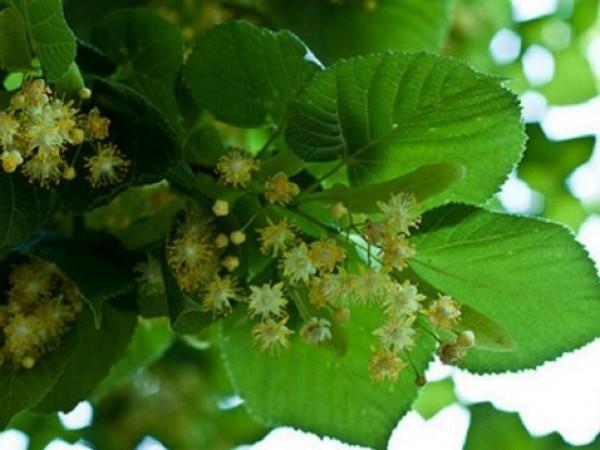 България успява да преработва нищожни количества от билките, които се