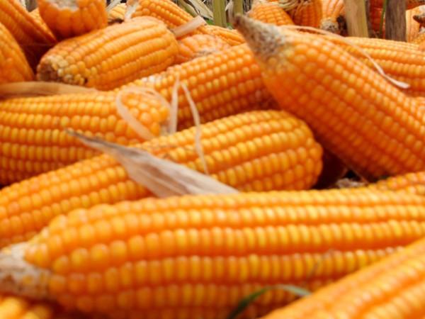 Има няколко различни вида царевица, но всеки от тях влияе