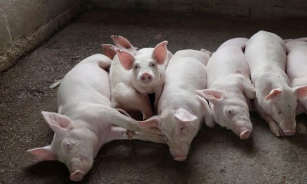 Генномодифицирани прасета стават донори на органи