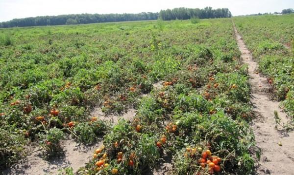 Наведи се, бери!? Родни берачи на домати – роби в Италия